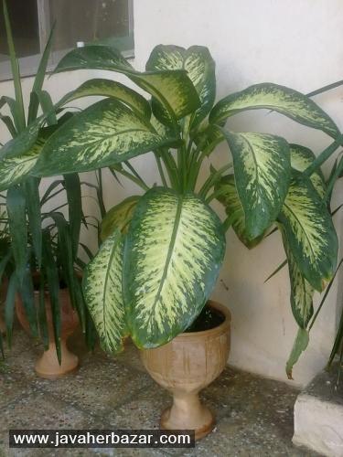 گیاهان آپارتمانی قسمت چهارم